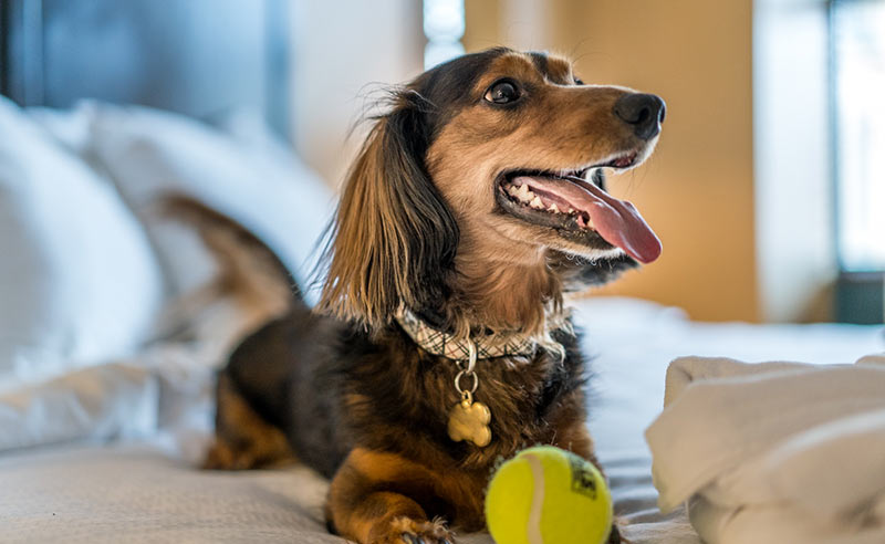 smiling dog in guest room with ball